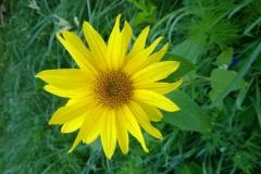 Sonnenblume-Westliche-Waelder